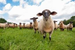 Imagefoto Schafe auf der Weide Bauernhof Landwirtschaft in Pforzheim Firmenfoto